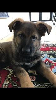 Schæferhund Hapia Cisco * Carlo* billede 11