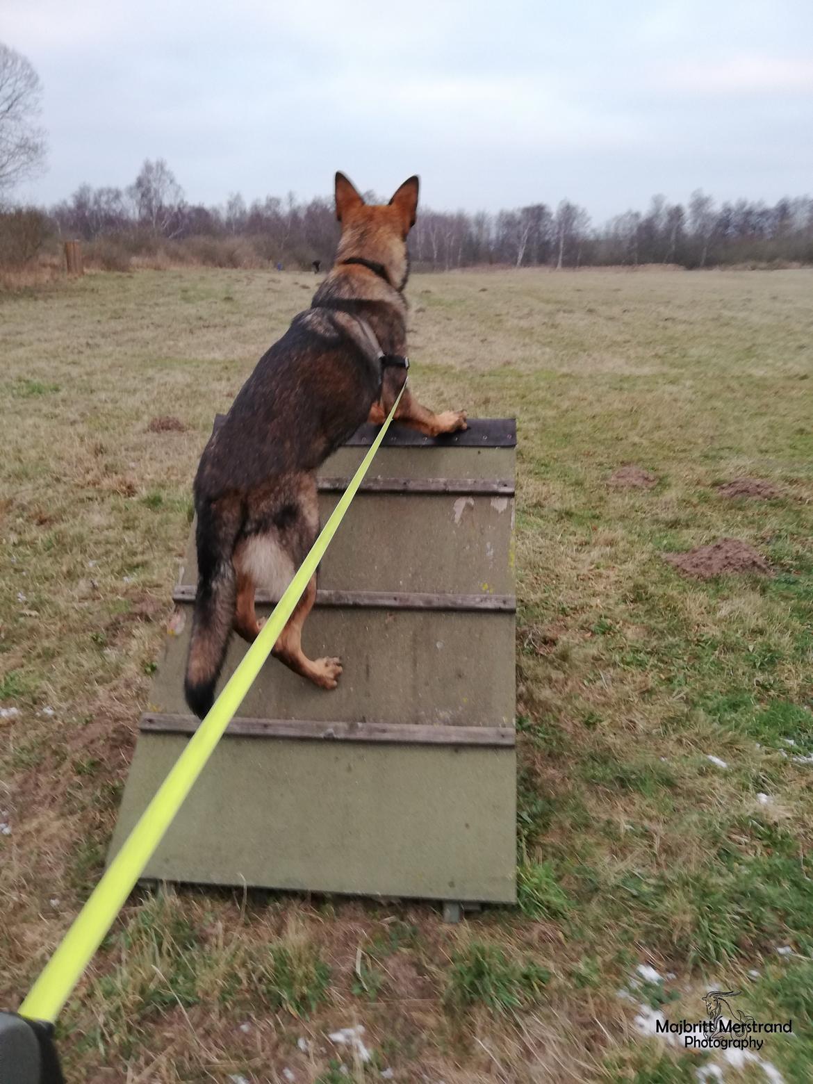 Schæferhund Hapia Cisco * Carlo* billede 6