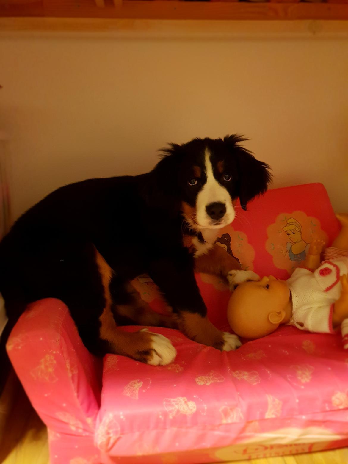 Berner sennenhund Toffie billede 23