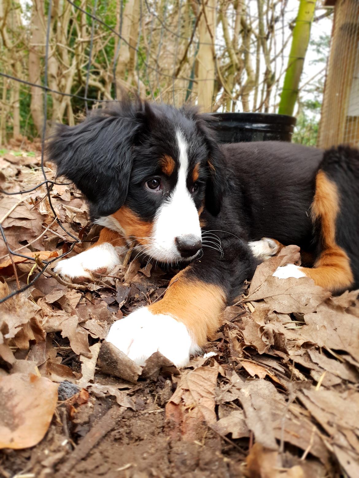 Berner sennenhund Toffie billede 26