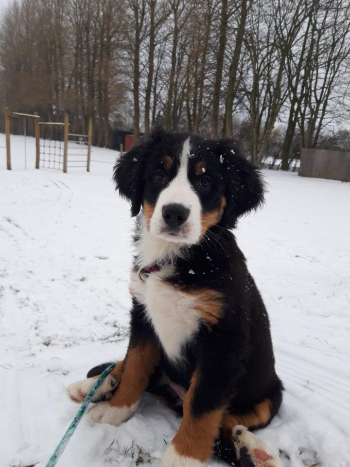 Berner sennenhund Toffie - første sne 2019 billede 28