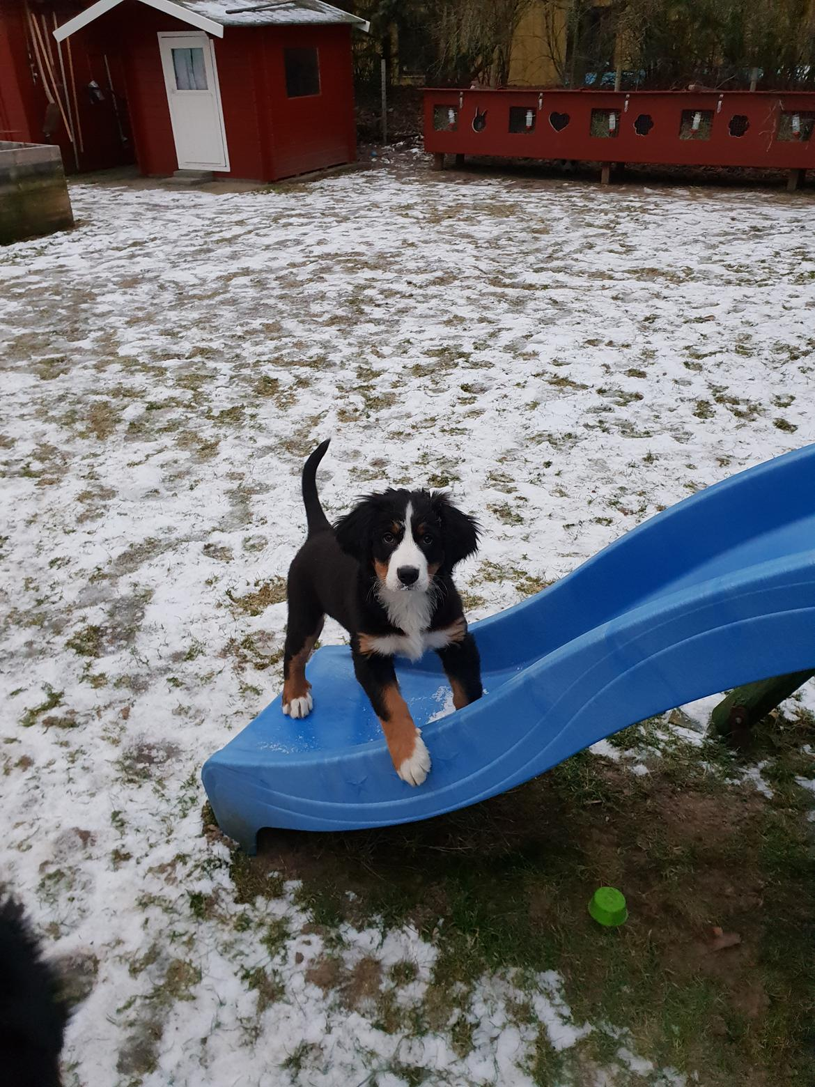 Berner sennenhund Toffie billede 31