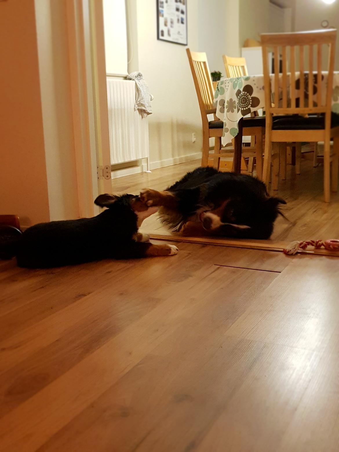 Berner sennenhund Toffie - leger lidt med storebror  billede 32