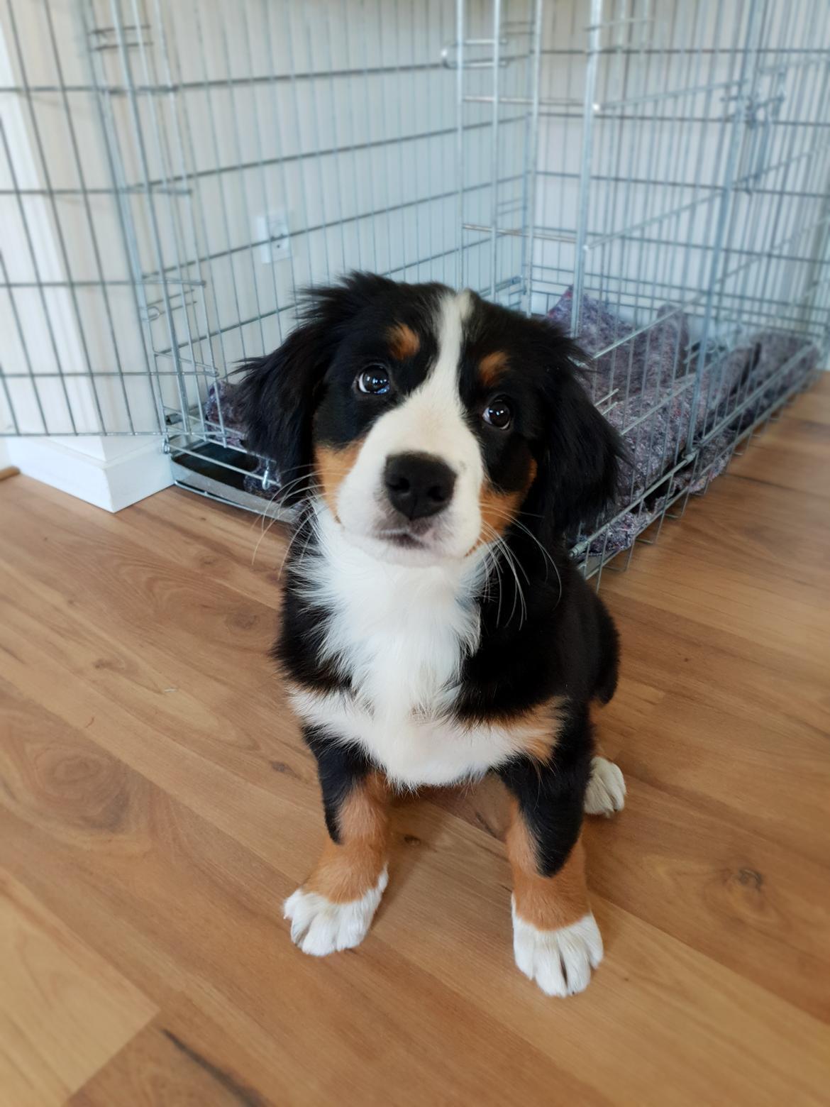 Berner sennenhund Toffie - om jeg har gjort noget? neeeej billede 35