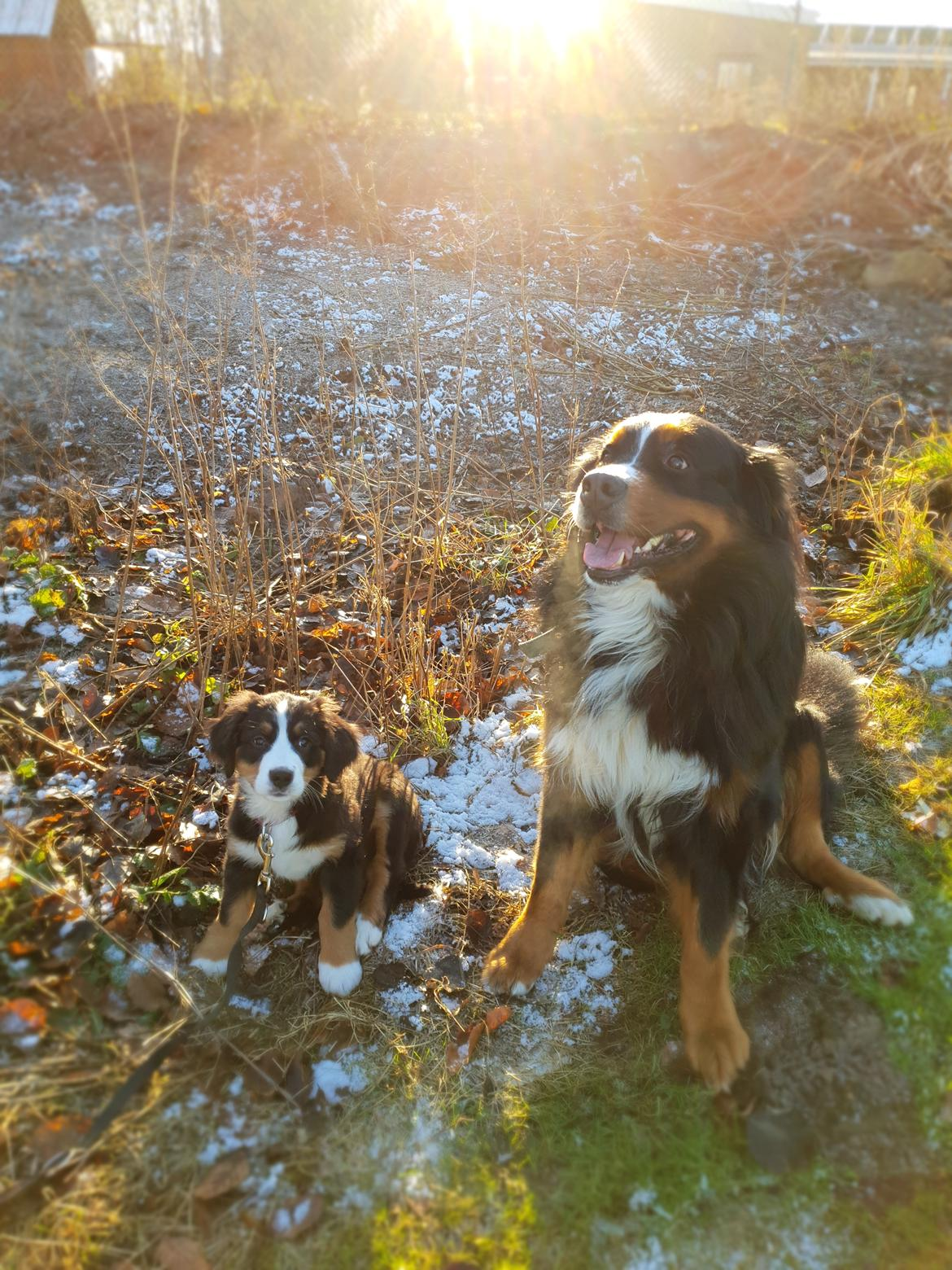 Berner sennenhund Toffie billede 34