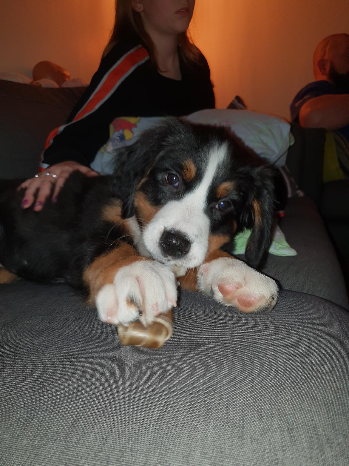 Berner sennenhund Toffie - er jeg ikke sød billede 37