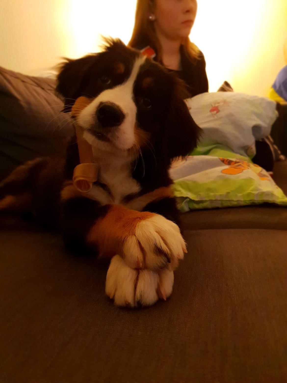 Berner sennenhund Toffie - undskyld sagde du jeg ikke måtte være i sofaen? ups.. billede 36