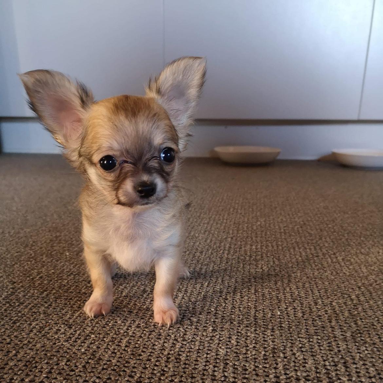 Chihuahua Baloo  billede 1