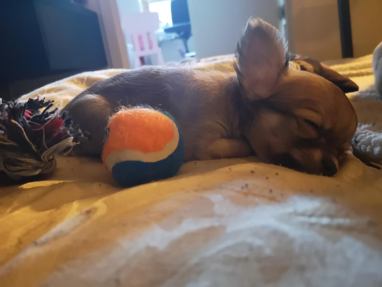 Chihuahua Baloo  billede 4