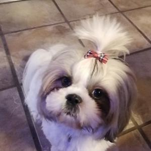 Shih tzu Holly (Wood) billede 13