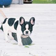 Fransk bulldog gizmo loke