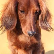 Gravhund Rasmus [2005-2021 Himmelhund]