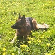 Schæferhund Daisy
