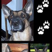 Schæferhund ****Brifer's Zille****