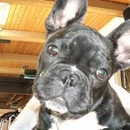 Fransk bulldog Albert Jackson