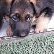 Schæferhund Santo jr.