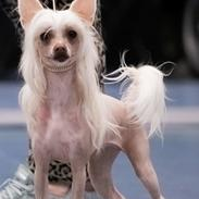 Chinese crested hårløs Zico Stella (Hottie Tot's Foxie Flash)
