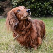 Dværggravhund Walther