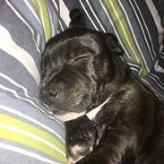 Staffordshire bull terrier Paco