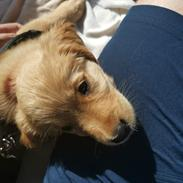 Golden retriever Ellie