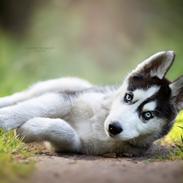 Siberian husky Koda