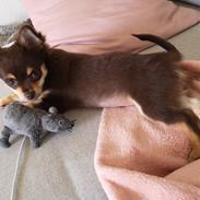 Chihuahua Cosmo