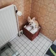 Chihuahua Buller
