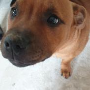 Staffordshire bull terrier Magster's Here Comes Cody Aka Cody