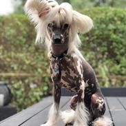 Chinese crested hårløs Malthe