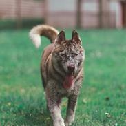 Siberian husky Sunshine Lady
