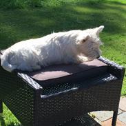West highland white terrier Laura