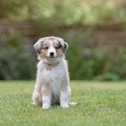 Miniature American Shepherd Ávi / Avicii