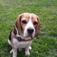 Beagle Charlie