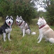 Siberian husky Sheena (Mesmocans Black Betty)