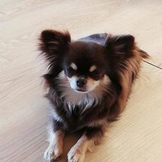 Chihuahua Aya