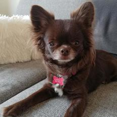 Chihuahua Tesla