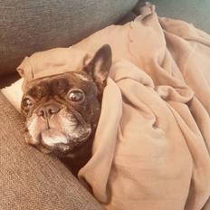 Fransk bulldog Lotte
