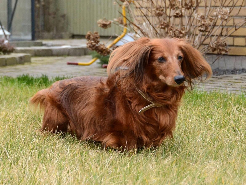 Dværggravhund Walther billede 4
