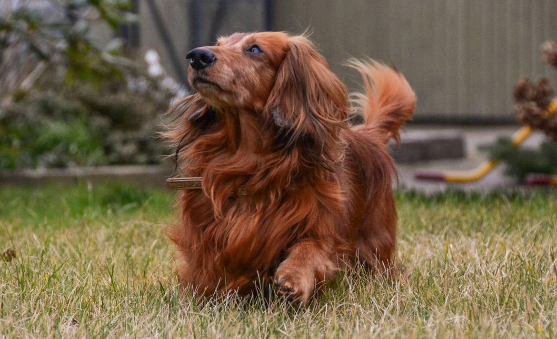Dværggravhund Walther billede 7
