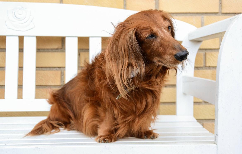 Dværggravhund Walther billede 10