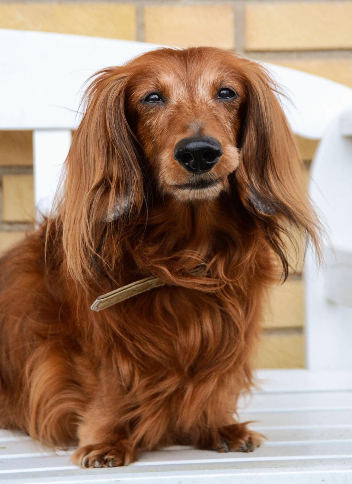 Dværggravhund Walther billede 9