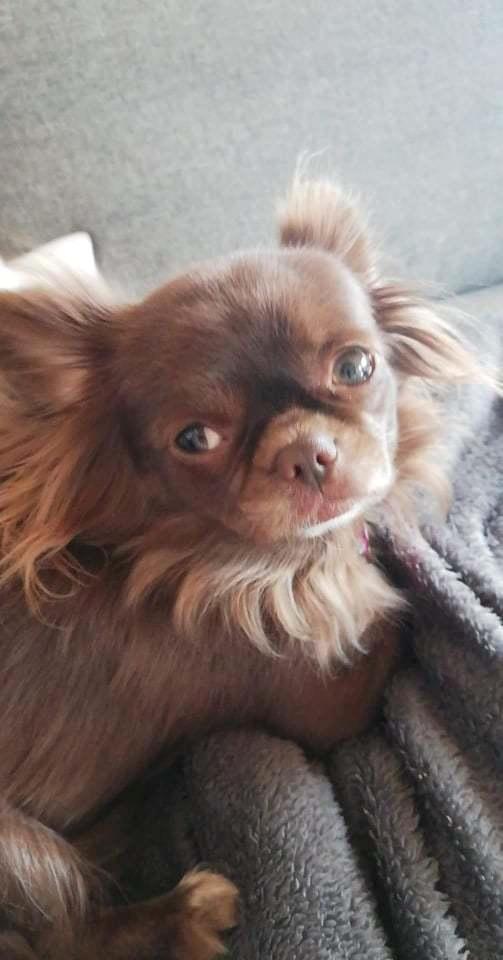 Chihuahua Mercedes billede 2