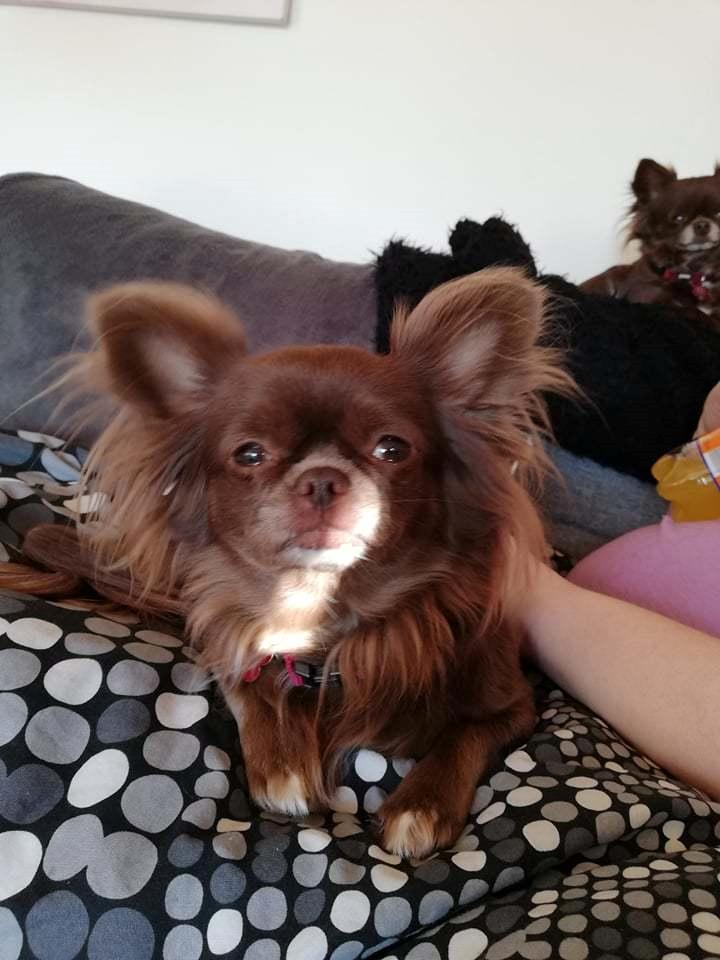 Chihuahua Mercedes billede 3