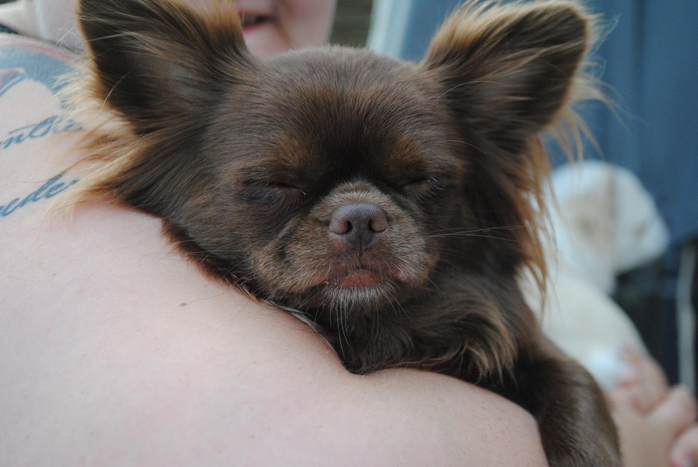 Chihuahua Mercedes billede 4