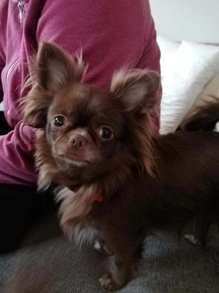Chihuahua Mercedes billede 1