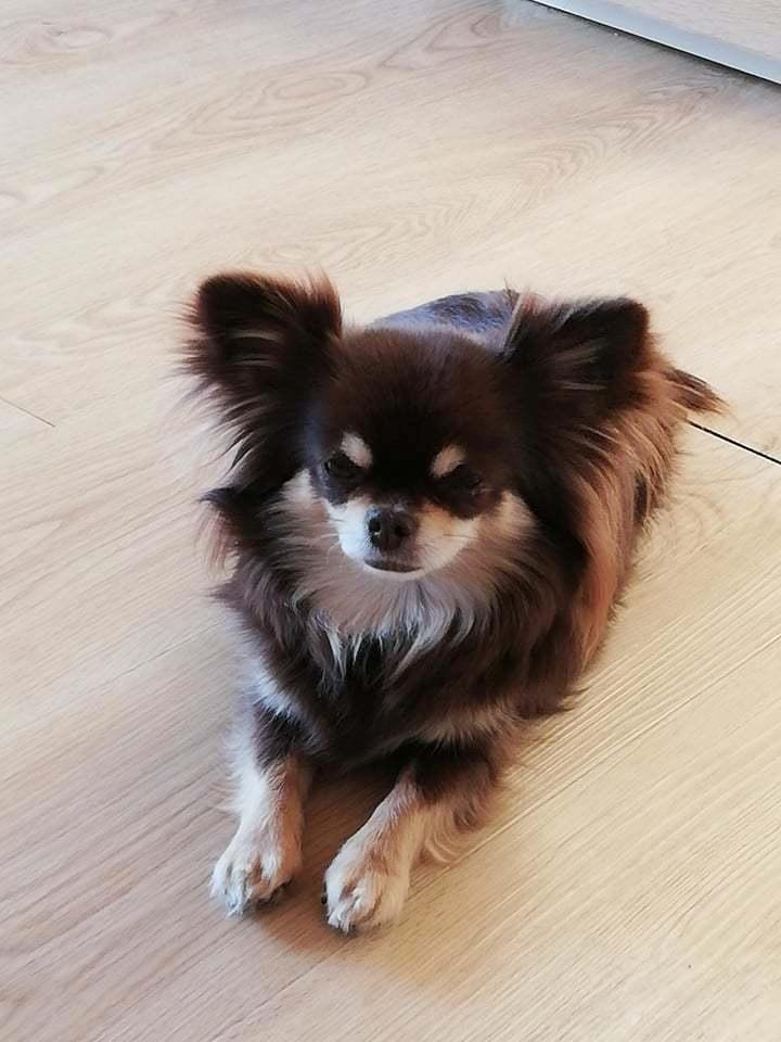 Chihuahua Aya billede 3