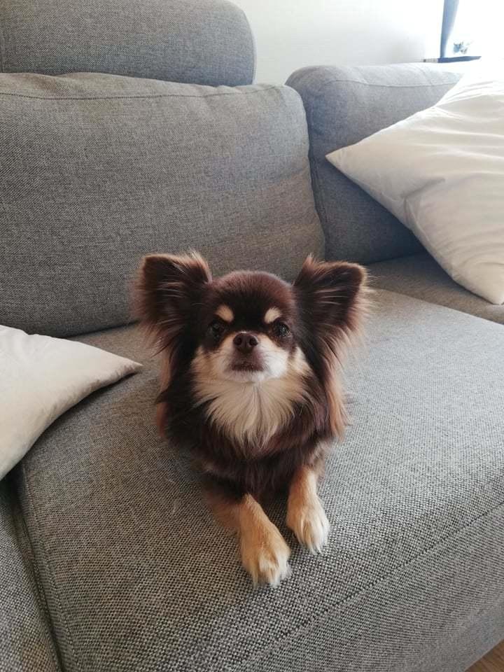 Chihuahua Aya billede 5
