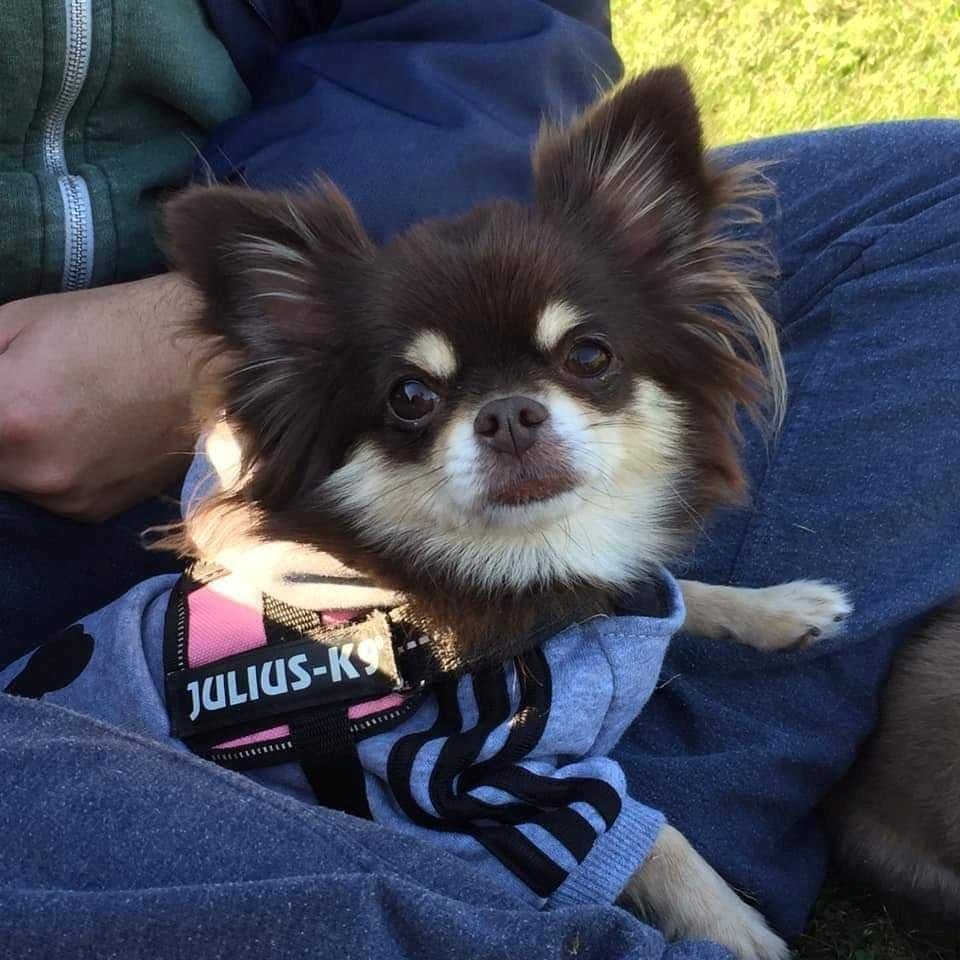 Chihuahua Aya billede 4