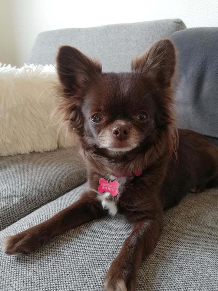 Chihuahua Tesla billede 1