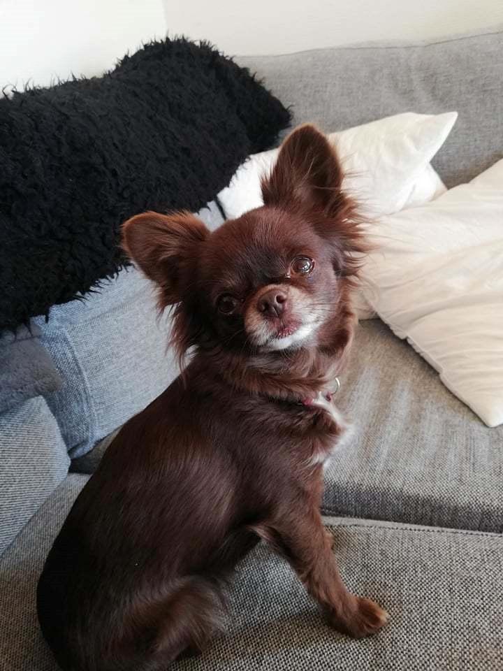 Chihuahua Tesla billede 3